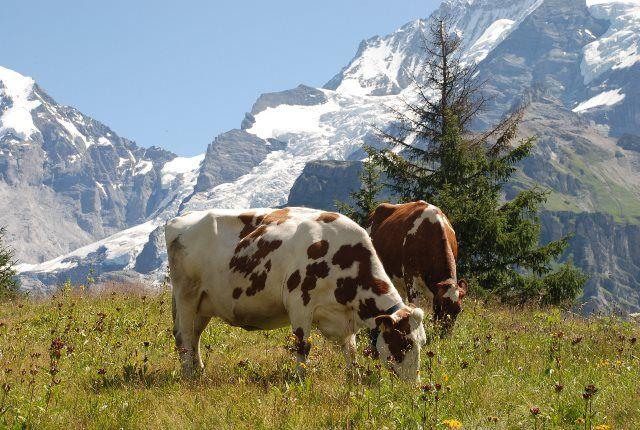Vacas en los Alpes suizos