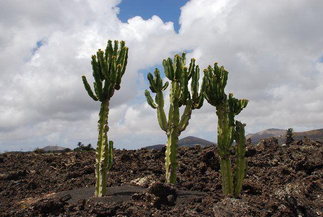 Cactus en el valle de la Geria