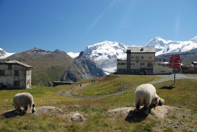 Las ovejas del Valais