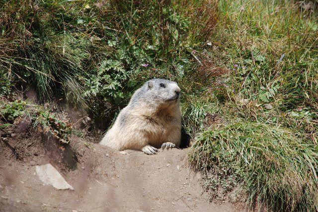 Este precioso ejemplar de marmota estaba esperando nuestra visita