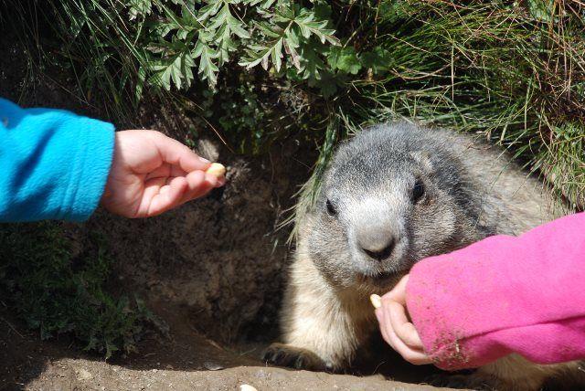 Las marmotas son protagonistas principales en Saas Fee