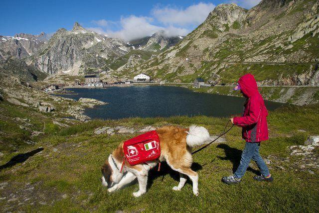 Paseo con perros San Bernardo