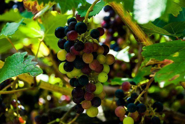 Uvas de Brontallo
