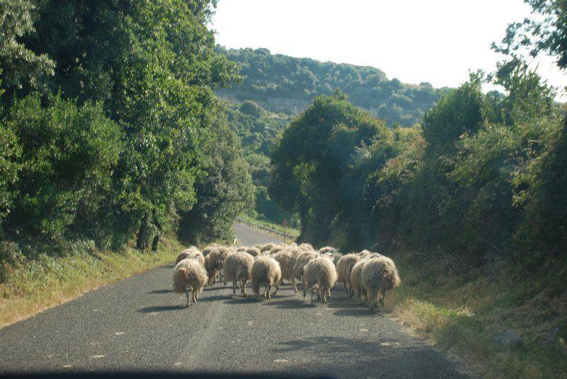 Tras la iron man de ovejas en la Cerdeña rural