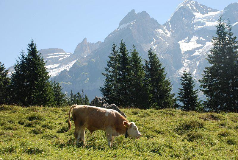 Prados y vacas en el Valle de Kandertal