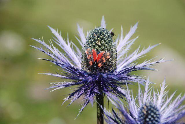 Flores del jardín alpino