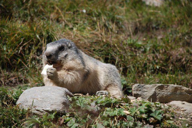 Dando de comer a las marmotas