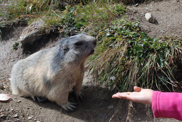 Las marmotas de Spielboden