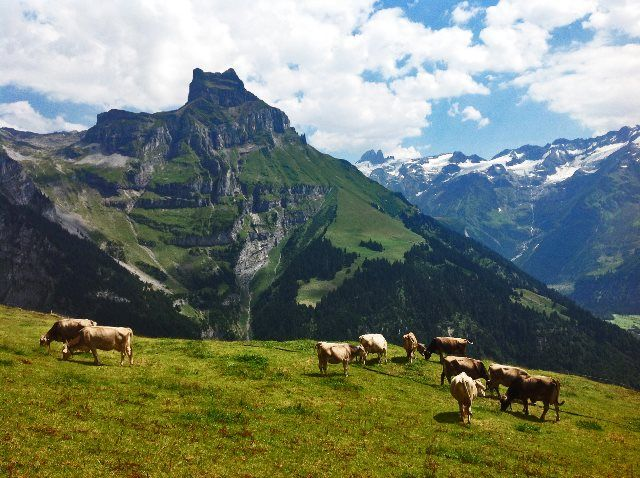Vacas pasatando camino a Ristis