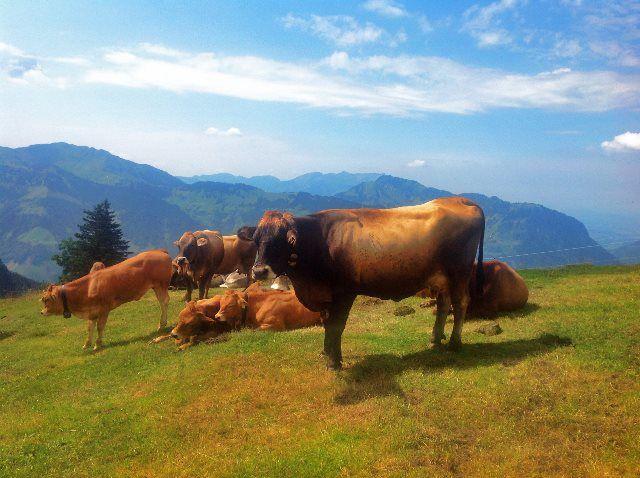 Vacas pastando en Bannalp