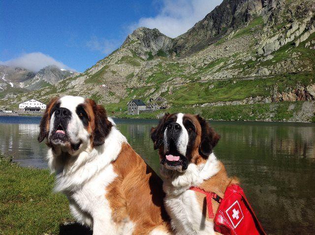 Paso Gran San Bernardo y los  perros salvadores suizos